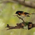 American Redstart on Black Orchid property