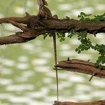 Basilisk posing above river
