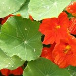 Edible nasturtiums from our garden look great on our plates