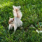 White Squirrel - Many Squirrels on the Mall