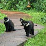 family of 20-30 monkeys after our gorilla trek