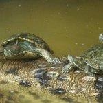 Las tortugas viven desde pequeñas con la cocodrila