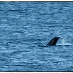 Humpback Whale from our lanai