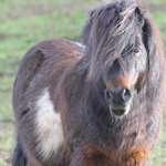 One of the farms shetland ponies