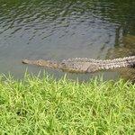 croc watching my calf