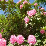 Rhododendrons at Tiroran House Hotel