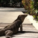 iguanas at the resort. very friendly creat