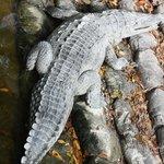 Sole Crocodile in Marina