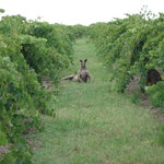 A beautiful Kangaroo in our Black Cluster vineyard