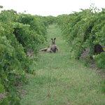 A beautiful Kangaroo in our Black Cluster vineyard