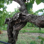 Gnarly old Shiraz vine