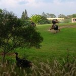 Lanai view of turkeys