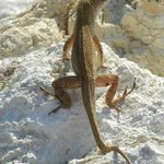Local lizard on the rocks at Blind Pass Condominiums beach