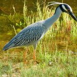 Beautiful bird on grounds of Blind Pass Condominiums