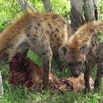 Hyänen mit Beute