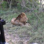 Der Löwe denkt noch nicht ans Aufstehen