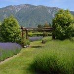 Lavender farm garden