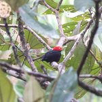 Red Manakin from Pool Area