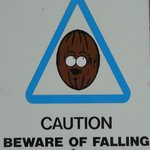 coconuts sometimes fall