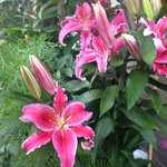 Lovely lillies out in full bloom in our gardens