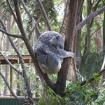 Koala attraction