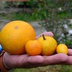 different types of oranges