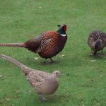 Pair of Pheasant & Ducks  in the Garden
