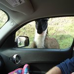 Llamas....so hilarious running along the car