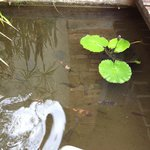 Lotus and fish pond