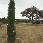 Holiday-decorated Italian cypress tree on the ranch's grounds along the walkwa