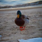 ducks on the lake near HOJO