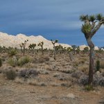 Joshua tree forest