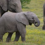 Stunning baby elephant staying close to her mom