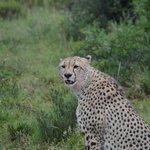 A cheetah just after a kill...