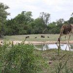giraffe bij de drinkplaats