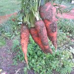 Farm to Fork Carrots