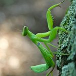 Praying mantis on property