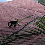 Monkey on Roof of neighboring villa