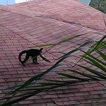 Monkey on Roof of neighboring villa
