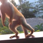Monkey on our Patio (quick photography cut him off)