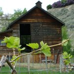 Spring grape vines