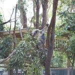 Koala hanged