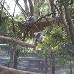 some koalas