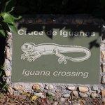 Occhio alle Iguane!