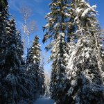 trees on Leaf Lake ski trail