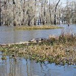 Sunning alligator (this one easy to spot :)