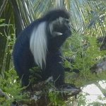Colobus monkey in grounds