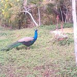 Peacock on the hotel property