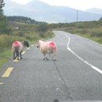 Les moutons sur la route (avec peinture)
