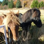Golden Circle Tour: Icelandic Horses